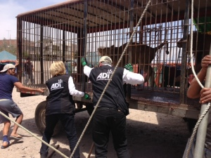 Circus cage pushed into position - Arequipa