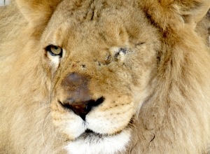 fb-rescued-lion-ricardo-destined-for-africa